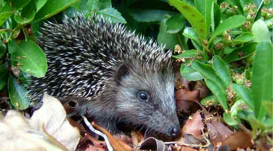 hedgehog out in daylight