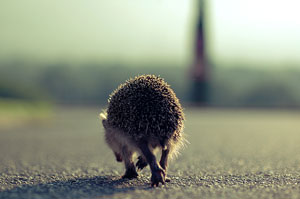 Hedgehog walking away at dawn